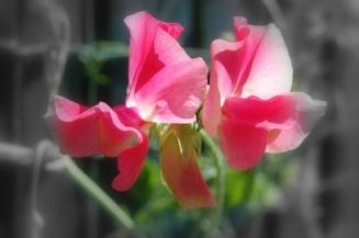 pink sweet pea bw